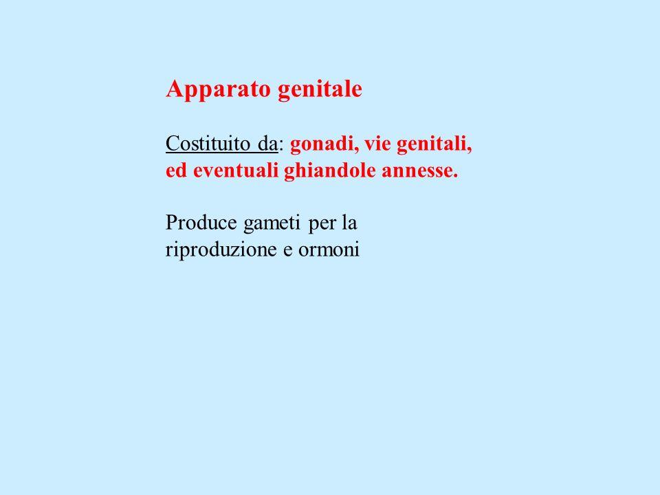 Apparato genitale Costituito da: gonadi, vie genitali,