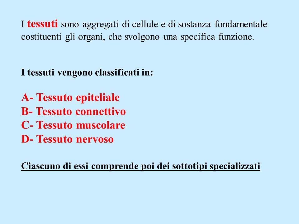 A- Tessuto epiteliale B- Tessuto connettivo C- Tessuto muscolare