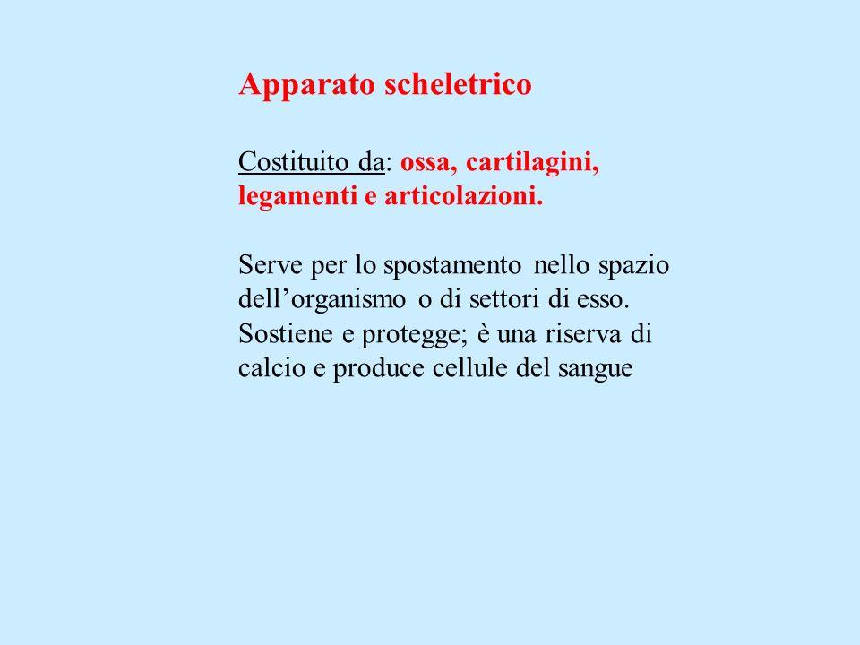 Apparato scheletrico Costituito da: ossa, cartilagini,