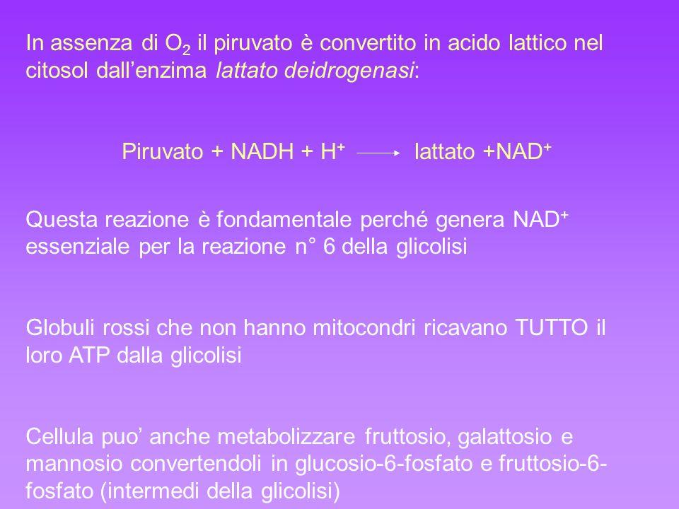 Piruvato + NADH + H+ lattato +NAD+