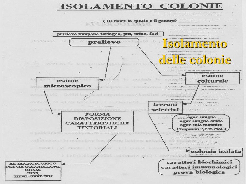Isolamento delle colonie