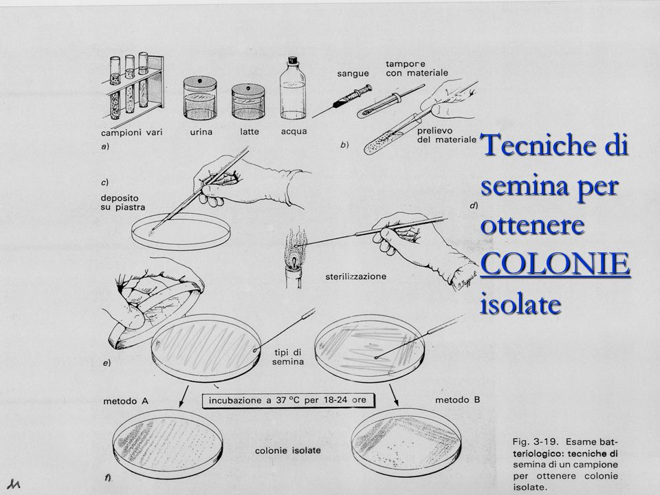 Tecniche di semina per ottenere COLONIE isolate