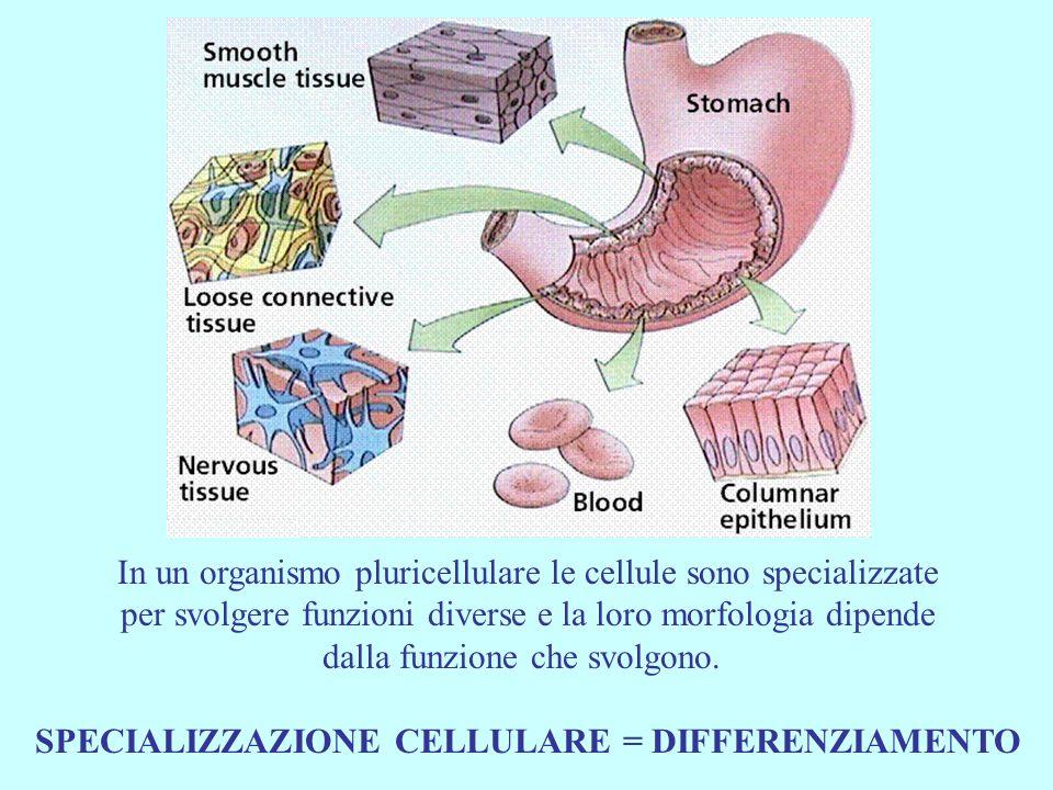 SPECIALIZZAZIONE CELLULARE = DIFFERENZIAMENTO