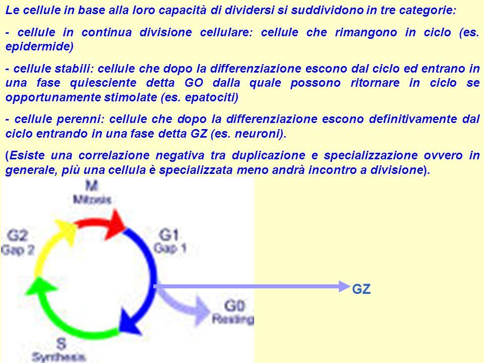 Le cellule in base alla loro capacità di dividersi si suddividono in tre categorie: