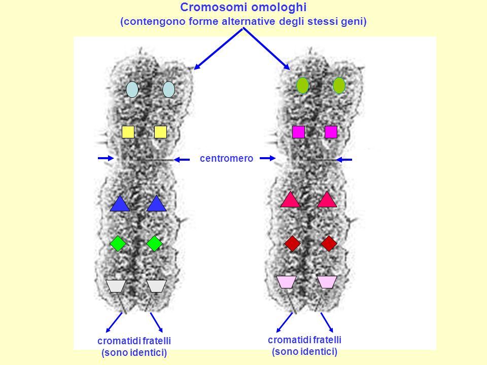 Cromosomi omologhi (contengono forme alternative degli stessi geni)
