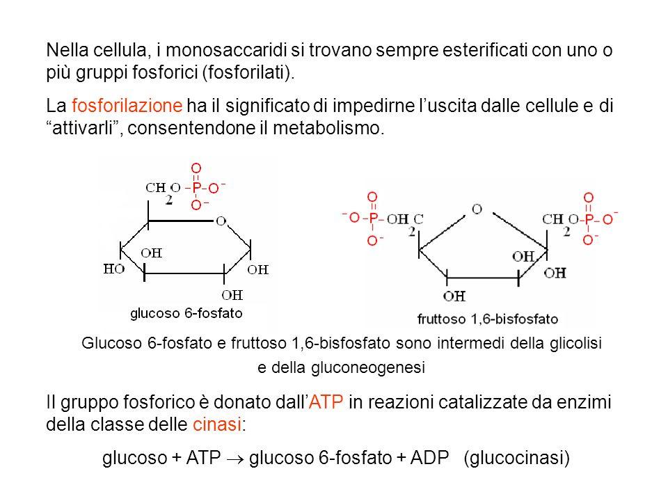 glucoso + ATP  glucoso 6-fosfato + ADP (glucocinasi)