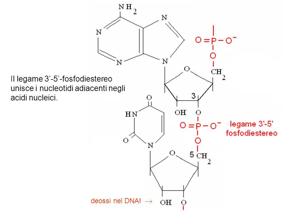 Il legame 3'-5'-fosfodiestereo unisce i nucleotidi adiacenti negli acidi nucleici.