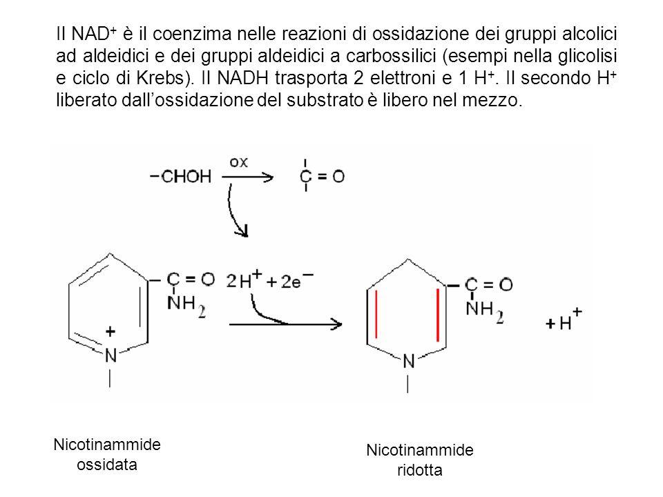 Il NAD+ è il coenzima nelle reazioni di ossidazione dei gruppi alcolici ad aldeidici e dei gruppi aldeidici a carbossilici (esempi nella glicolisi e ciclo di Krebs). Il NADH trasporta 2 elettroni e 1 H+. Il secondo H+ liberato dall'ossidazione del substrato è libero nel mezzo.