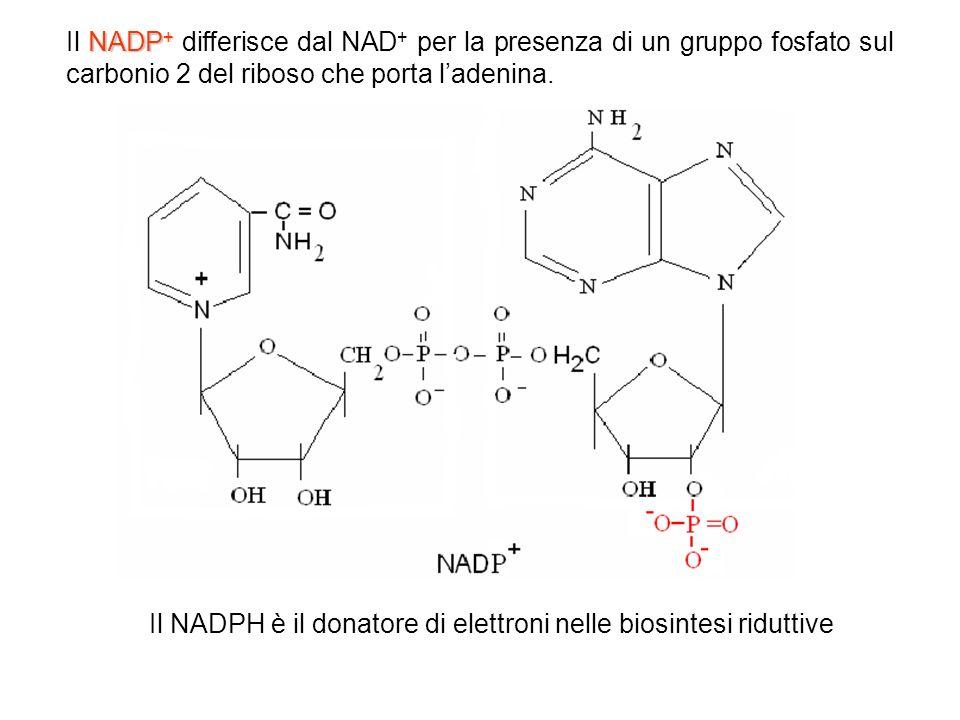 Il NADPH è il donatore di elettroni nelle biosintesi riduttive