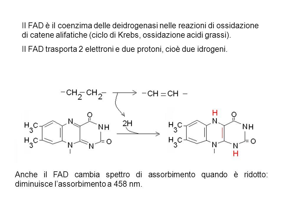 Il FAD è il coenzima delle deidrogenasi nelle reazioni di ossidazione di catene alifatiche (ciclo di Krebs, ossidazione acidi grassi).