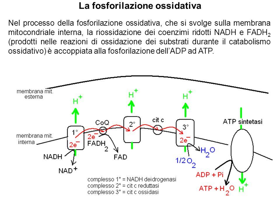 La fosforilazione ossidativa