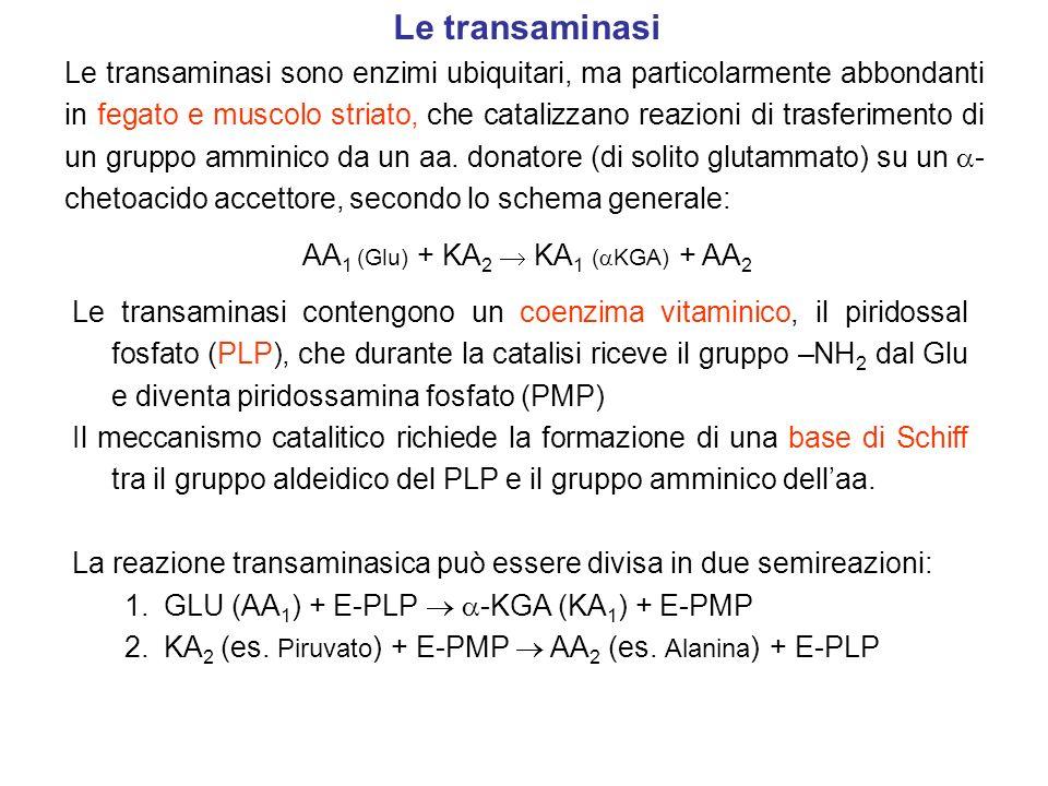 AA1 (Glu) + KA2  KA1 (KGA) + AA2