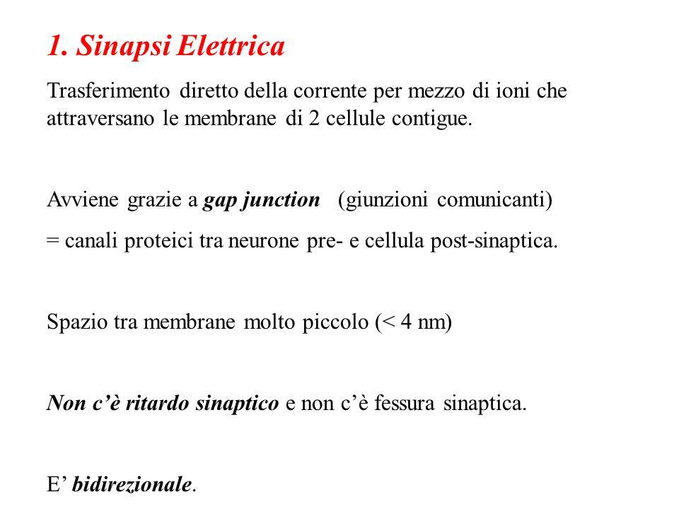 1. Sinapsi Elettrica Trasferimento diretto della corrente per mezzo di ioni che attraversano le membrane di 2 cellule contigue.
