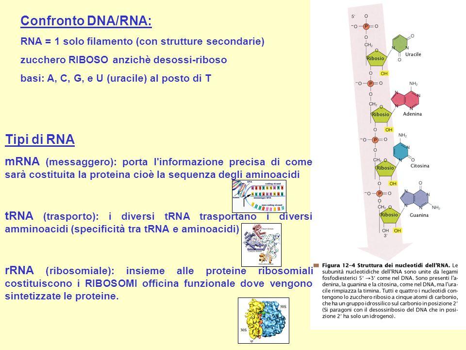 Confronto DNA/RNA: Tipi di RNA