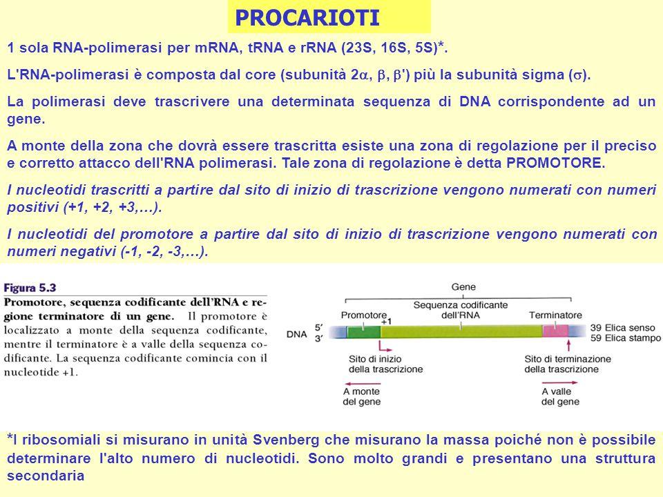 1 sola RNA-polimerasi per mRNA, tRNA e rRNA (23S, 16S, 5S)*.