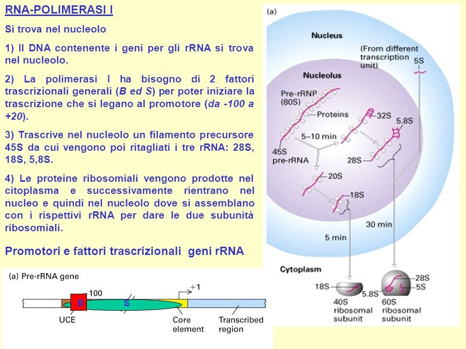Promotori e fattori trascrizionali geni rRNA