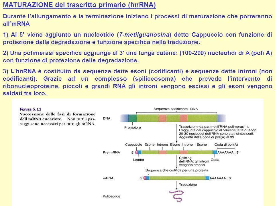 MATURAZIONE del trascritto primario (hnRNA)