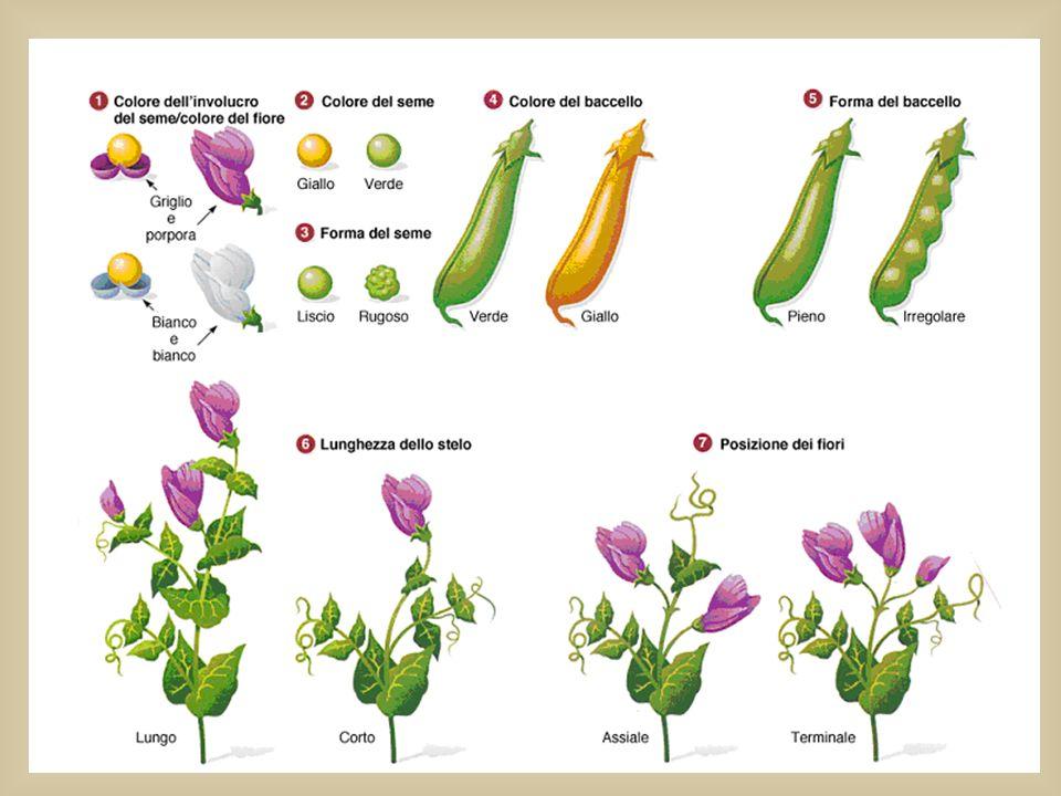 Mendel studiò 7 coppie di caratteri (contrastanti e ben definiti)della pianta del pisello odoroso :
