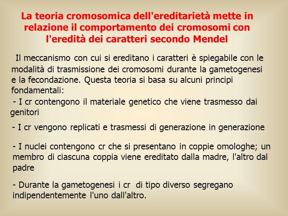 La teoria cromosomica dell ereditarietà mette in relazione il comportamento dei cromosomi con l eredità dei caratteri secondo Mendel