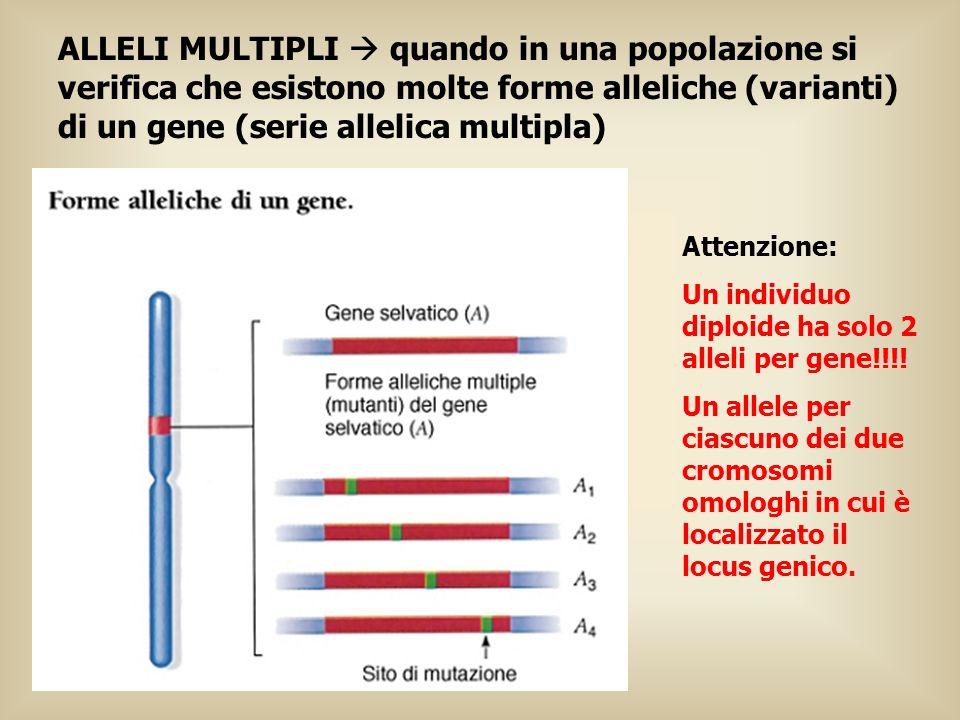ALLELI MULTIPLI  quando in una popolazione si verifica che esistono molte forme alleliche (varianti) di un gene (serie allelica multipla)