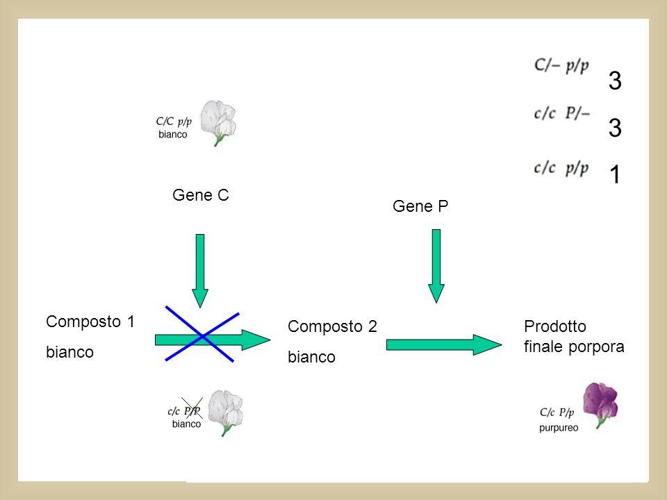 9:7 3. 1. Questa interazione tra geni da il fenotipo bianco ogni volta che l'una o l'altra coppia allelica è omozigote recessiva.