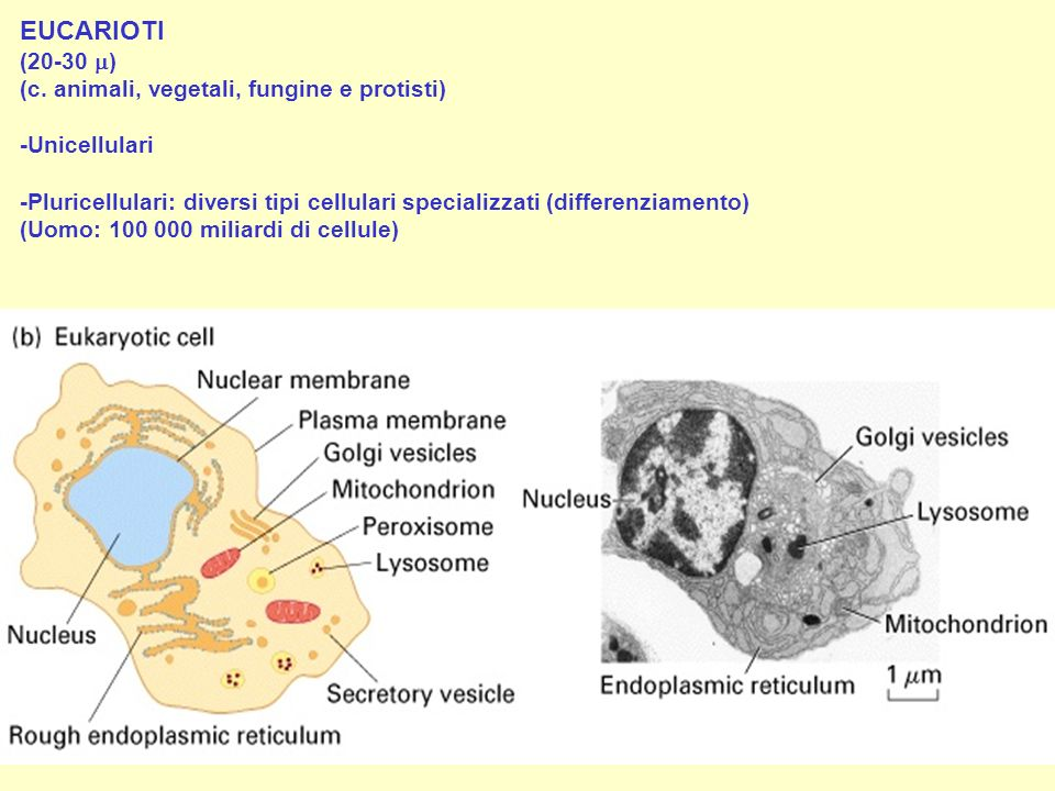 EUCARIOTI (20-30 ) (c. animali, vegetali, fungine e protisti)