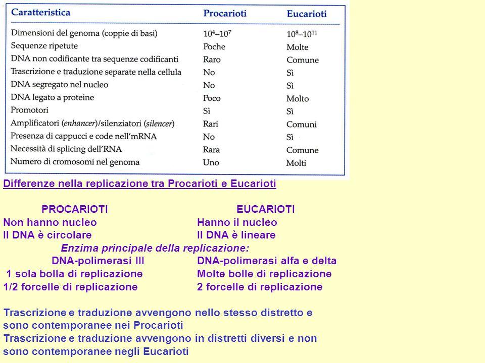 Enzima principale della replicazione: