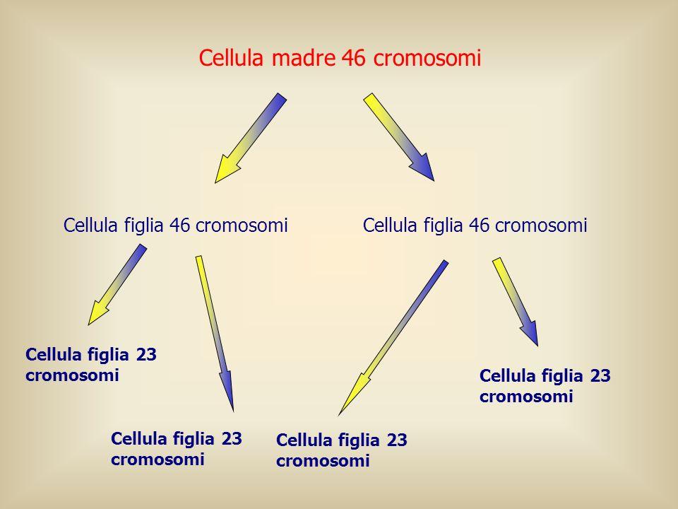 Cellula madre 46 cromosomi