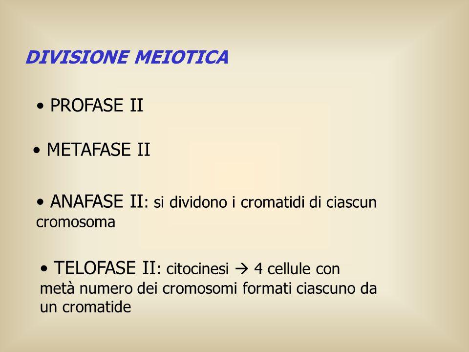 DIVISIONE MEIOTICA PROFASE II. METAFASE II. ANAFASE II: si dividono i cromatidi di ciascun cromosoma.