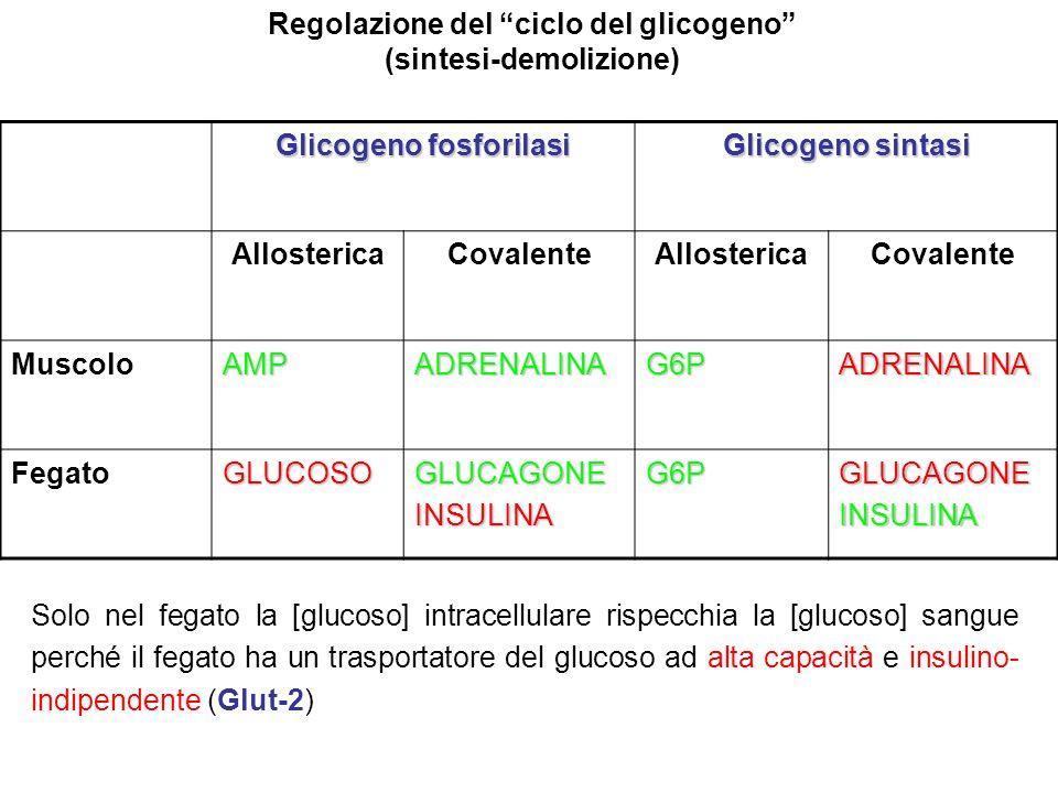 Regolazione del ciclo del glicogeno (sintesi-demolizione)