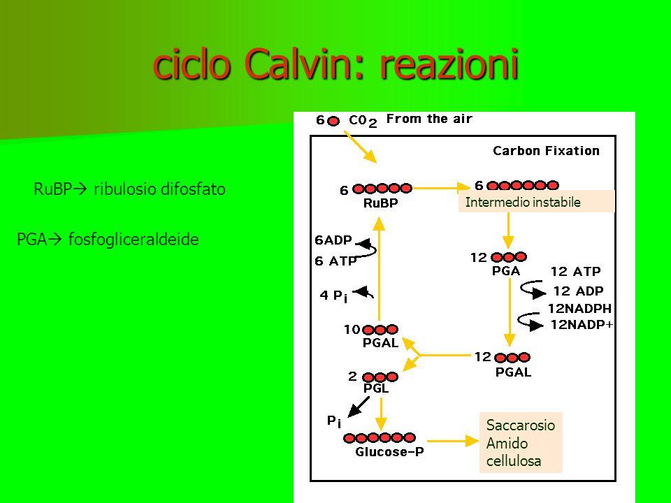 ciclo Calvin: reazioni