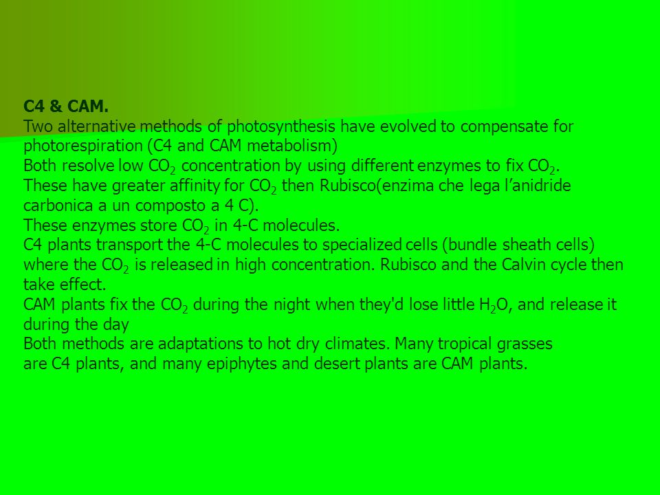 C4 & CAM. Two alternative methods of photosynthesis have evolved to compensate for photorespiration (C4 and CAM metabolism)