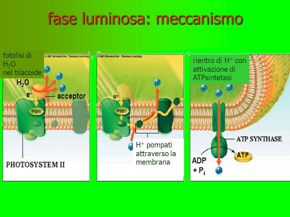 fase luminosa: meccanismo