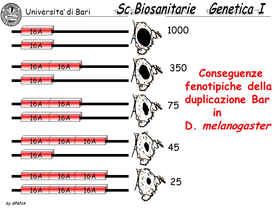 Conseguenze fenotipiche della duplicazione Bar in D. melanogaster