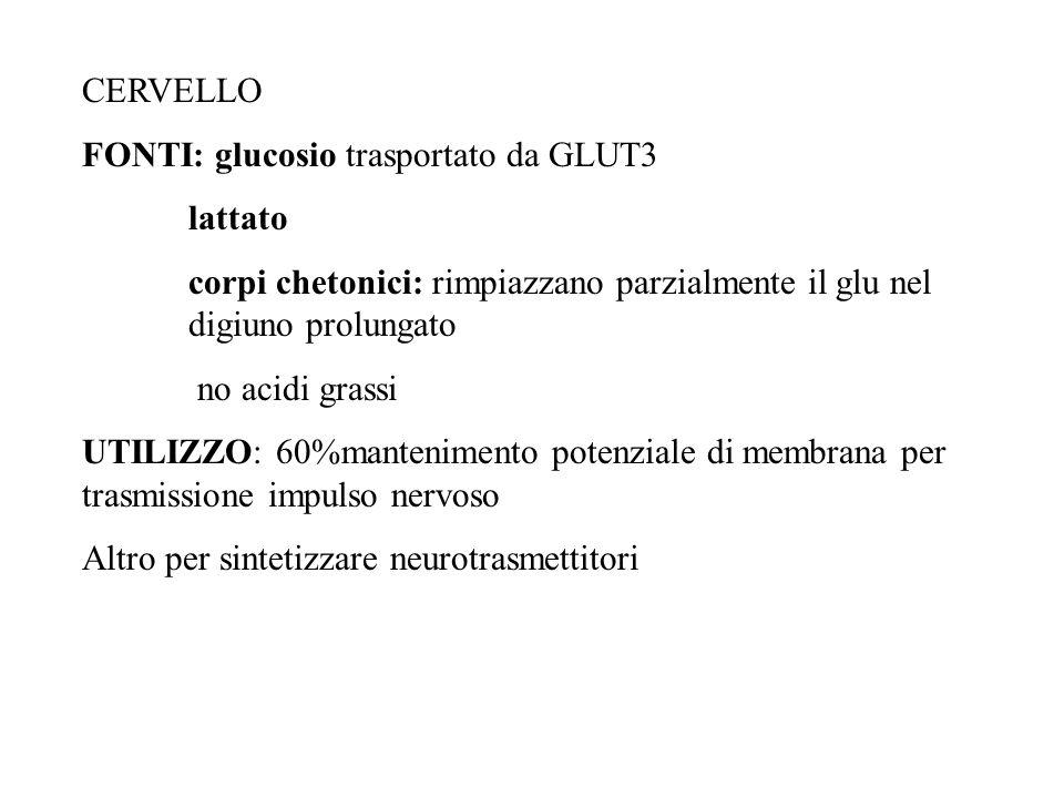 CERVELLO FONTI: glucosio trasportato da GLUT3. lattato. corpi chetonici: rimpiazzano parzialmente il glu nel digiuno prolungato.