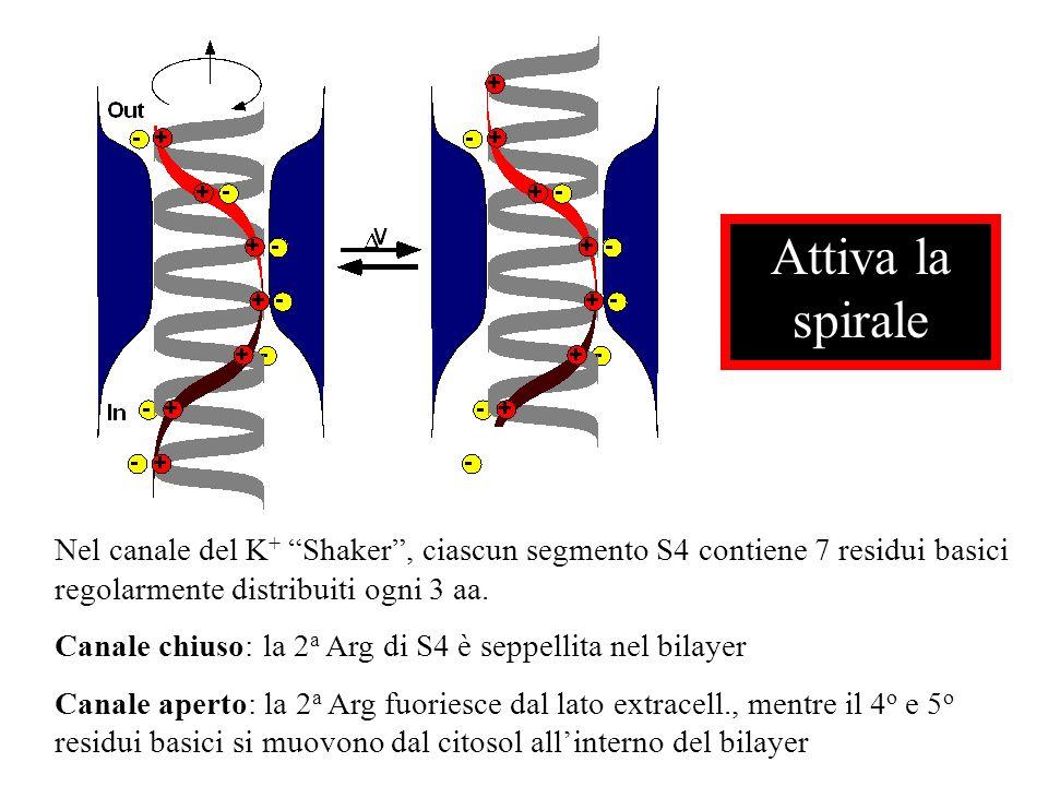 Attiva la spirale Nel canale del K+ Shaker , ciascun segmento S4 contiene 7 residui basici regolarmente distribuiti ogni 3 aa.