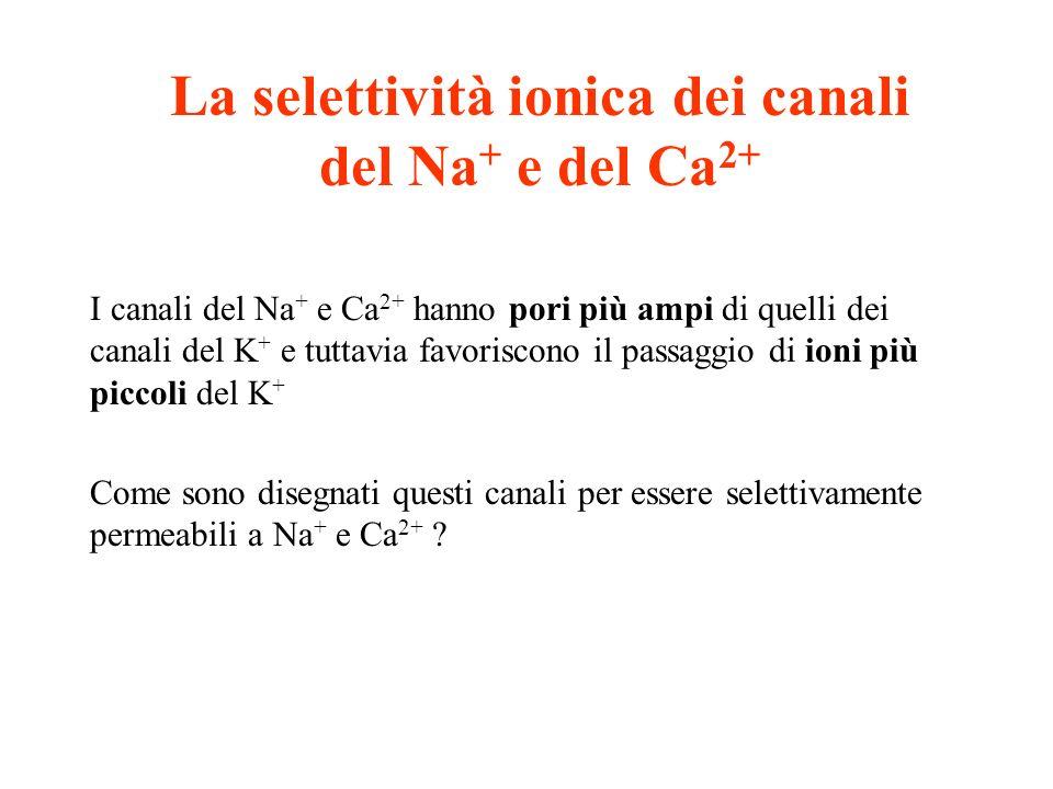 La selettività ionica dei canali del Na+ e del Ca2+