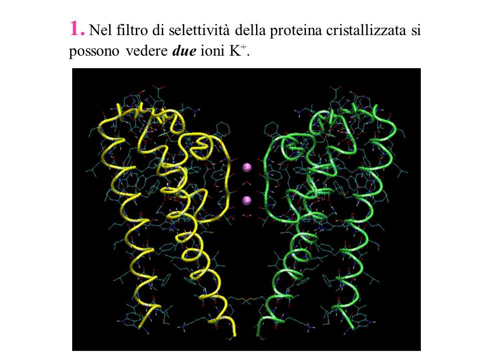 1. Nel filtro di selettività della proteina cristallizzata si possono vedere due ioni K+.