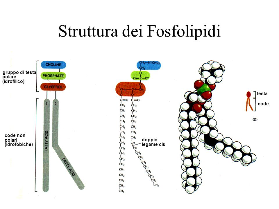 Struttura dei Fosfolipidi