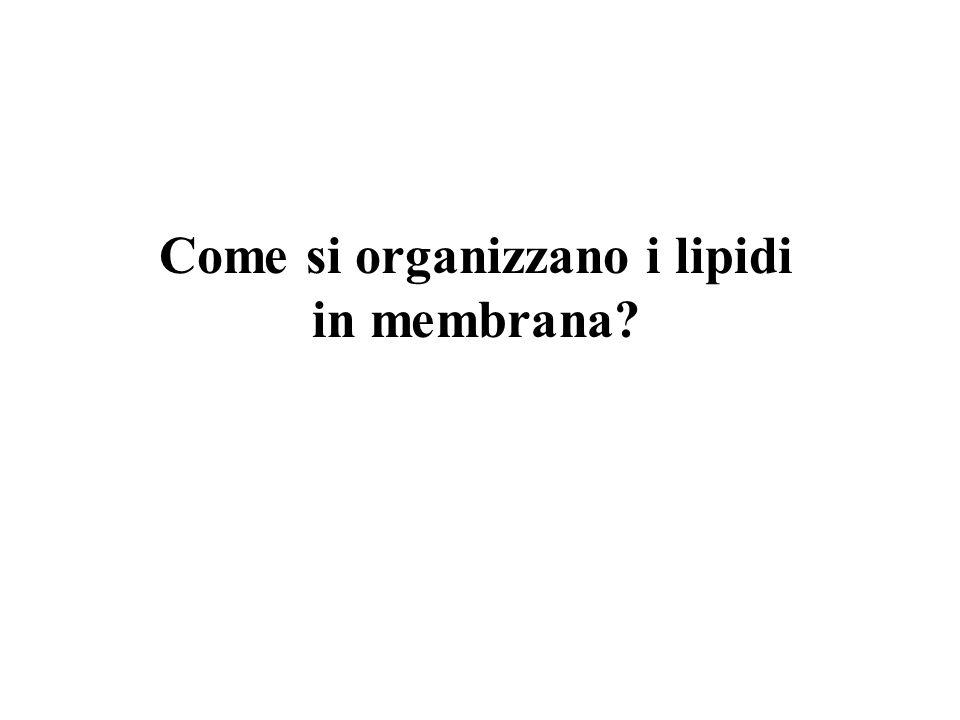 Come si organizzano i lipidi in membrana