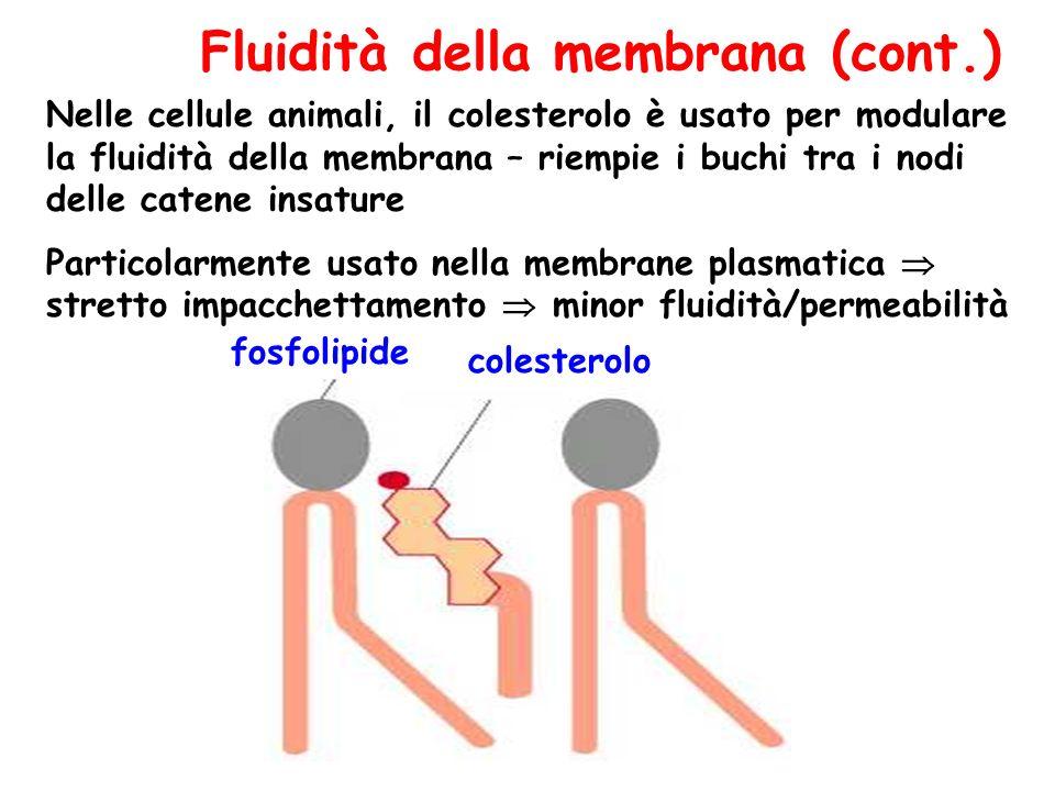 Fluidità della membrana (cont.)