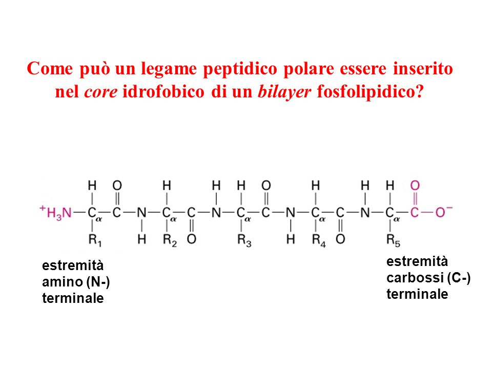 Come può un legame peptidico polare essere inserito nel core idrofobico di un bilayer fosfolipidico