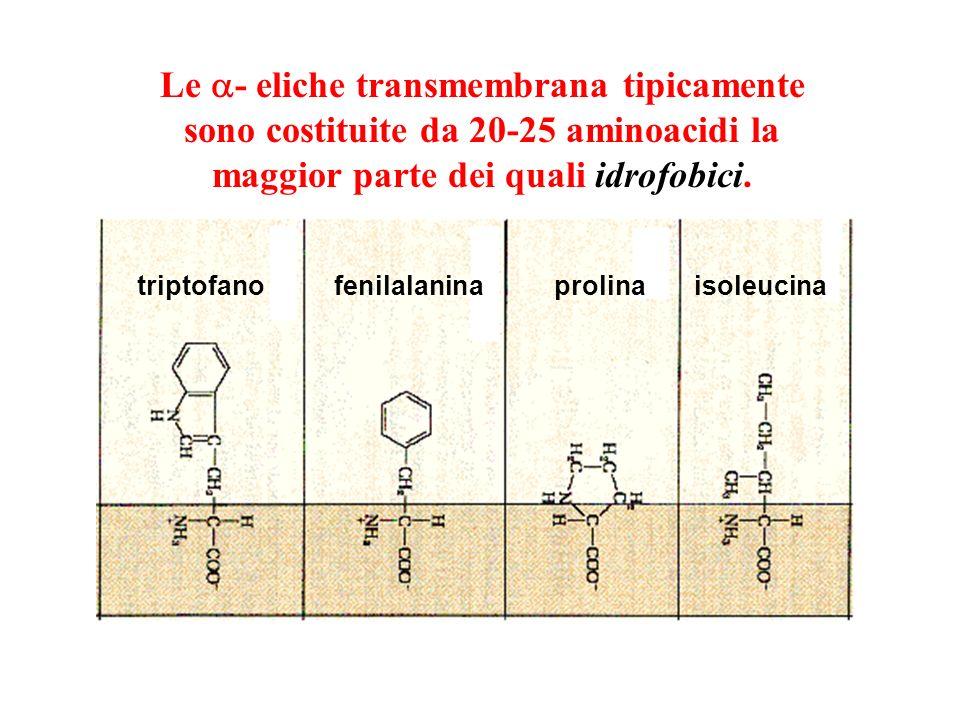Le a- eliche transmembrana tipicamente sono costituite da 20-25 aminoacidi la maggior parte dei quali idrofobici.