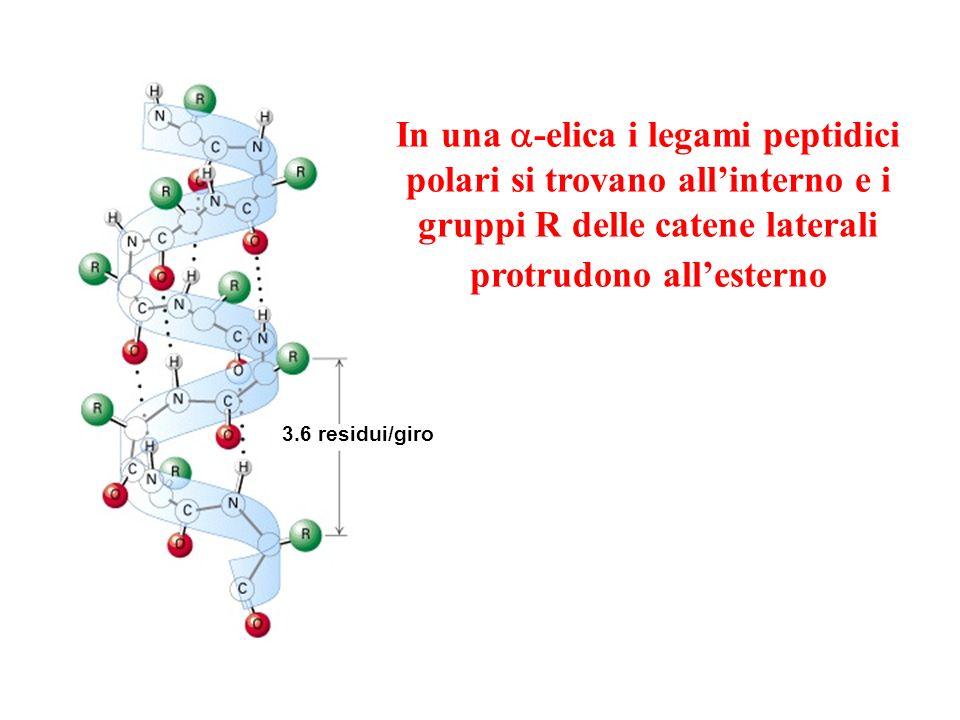 In una a-elica i legami peptidici polari si trovano all'interno e i gruppi R delle catene laterali protrudono all'esterno