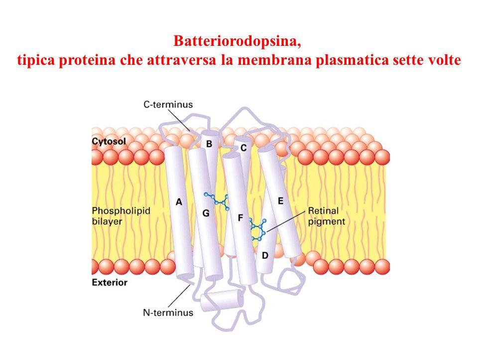 tipica proteina che attraversa la membrana plasmatica sette volte