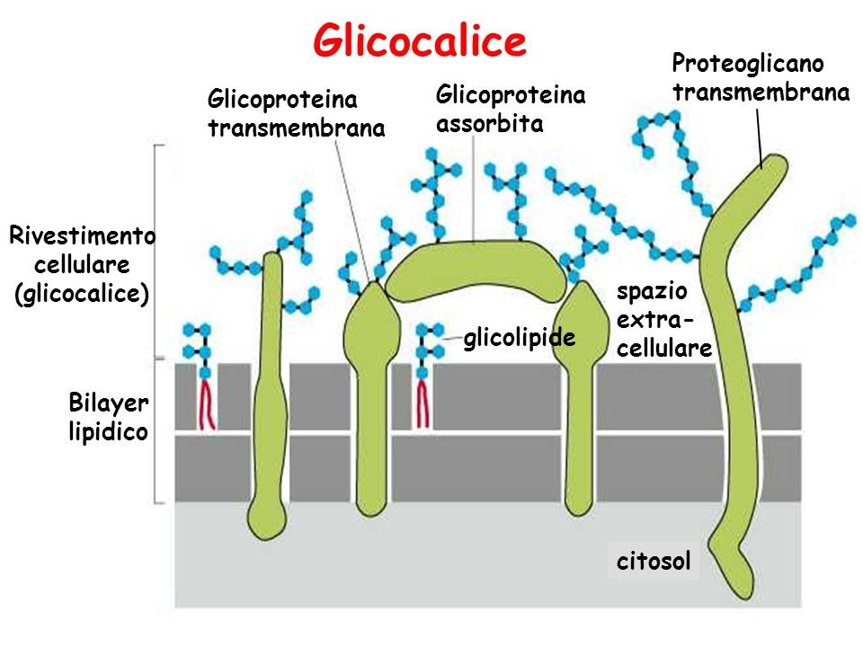 Glicocalice Proteoglicano transmembrana Glicoproteina Glicoproteina