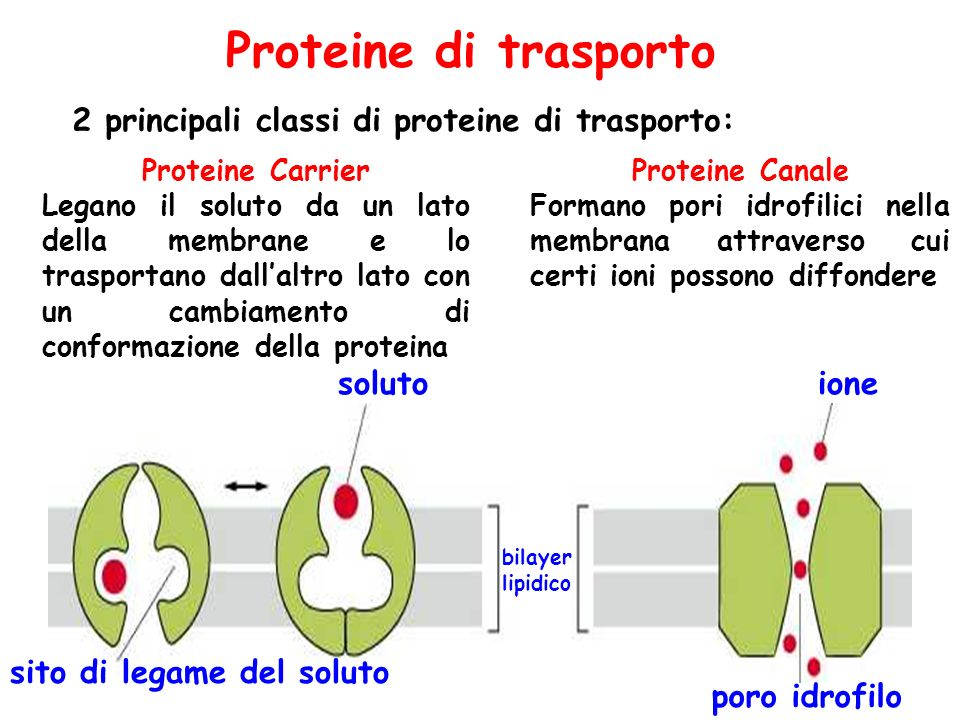 Proteine di trasporto 2 principali classi di proteine di trasporto: