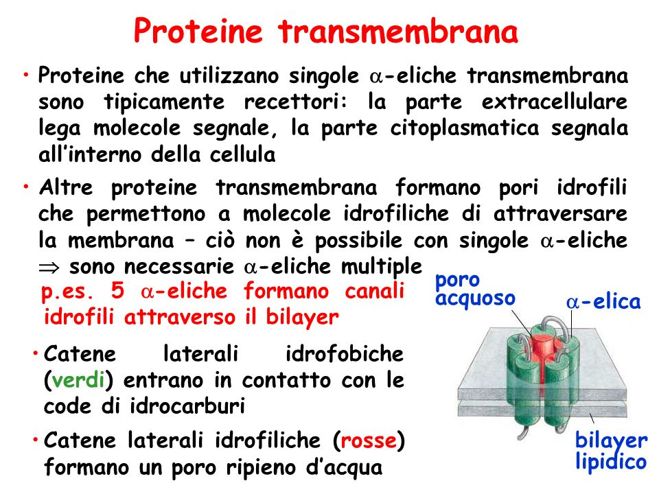 Proteine transmembrana