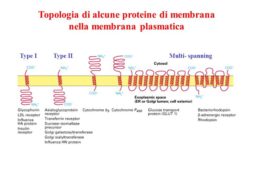 Topologia di alcune proteine di membrana nella membrana plasmatica