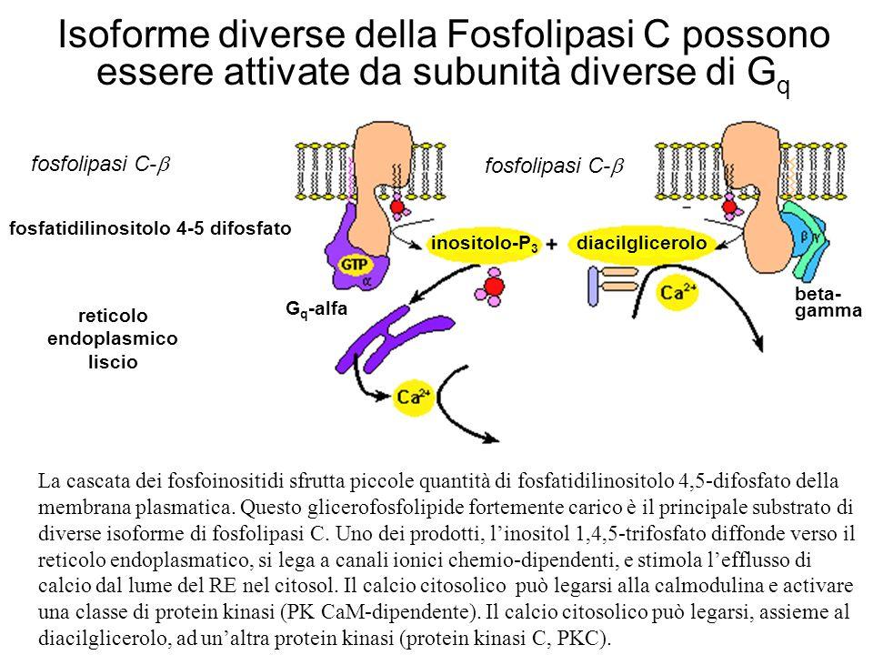 reticolo endoplasmico liscio